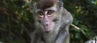 Rare human outbreak of monkey malaria detected in Malaysia